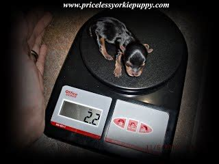 yorkie weight scale yorkie weight chart priceless yorkie puppy