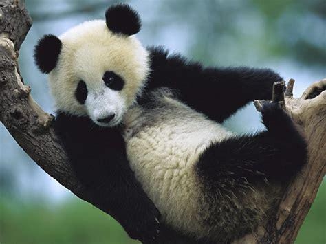 www panda el panda taringa