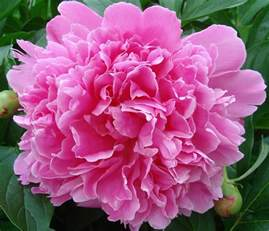 what is a state flower peony indiana state flower state flowers pinterest