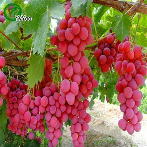 fruit vines buy wholesale plant grape vines from china plant