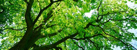What Is A Tree Canopy Canopy Healthy Trees Healthy Communities Canopy
