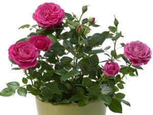 Rose Flowering Plant - tips to grow amp maintain rose plants indoors boldsky com