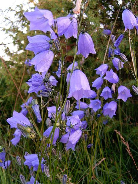 Esmonia Lopperio Flower blue flowers in saaremaa free photos 1531471 freeimages