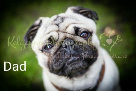 kennel club pug fully kennel club pugs bolton greater manchester pets4homes