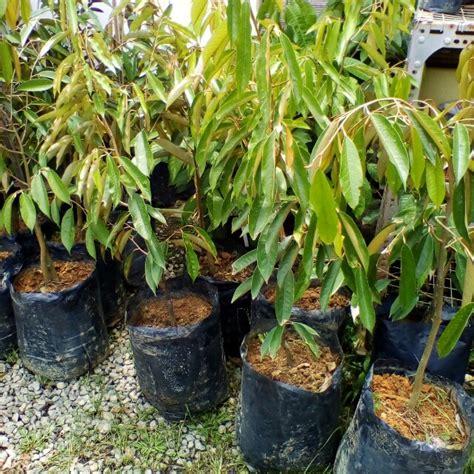 Tanaman Buah Durian Sitokong 60cm Limited pokok durian duri hitam xl rumah perabot perkebunan di carousell