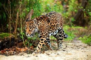 Jaguar Habitat In Rainforest 20 Kinds Of Tropical Rainforest Animals With Pictures