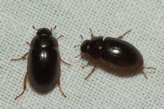small black bug in bathroom tiny black bugs in bathroom delonho com