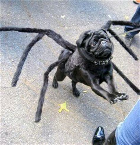 spider pug costume black pug spider costume pugs