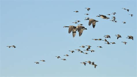 the basics of bird migration how why and where all