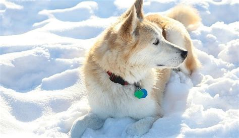golden retriever huskie mix a look at the golden retriever husky mix bold and beautiful herepup