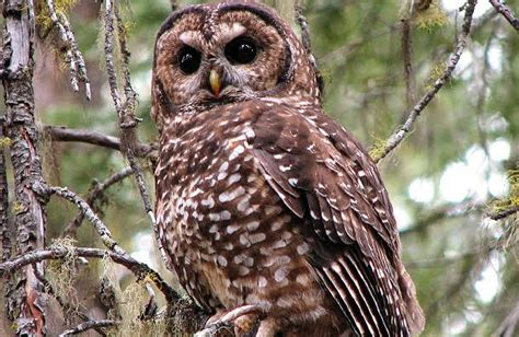 Gw Owl northern spotted owl populations in rapid decline new