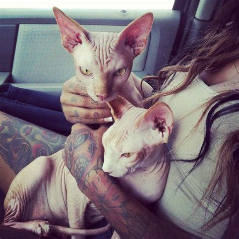 tattoo bald cat 203 best images about cuties on pinterest chihuahuas