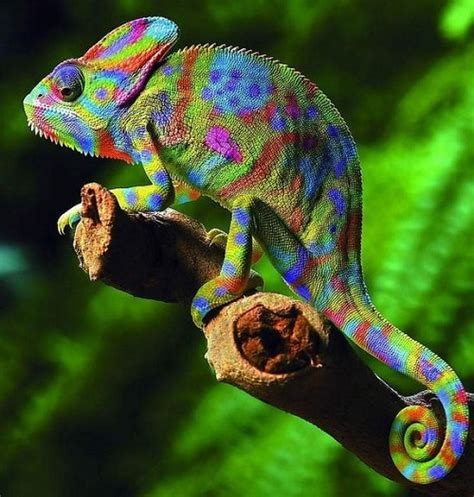 color changing chameleon in color color kaleidoscope color meaning