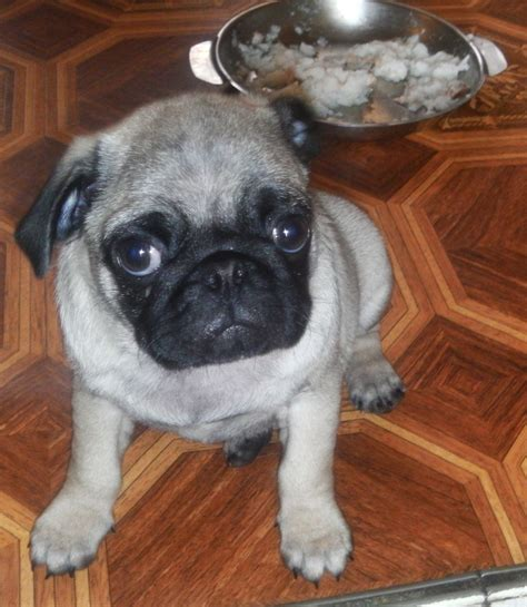 pugs for sale houston tx puppy pugs for sale in derbyshire photo