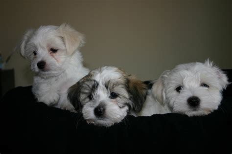 when is a havanese grown havamalt maltese havanese mix info care puppies and pictures