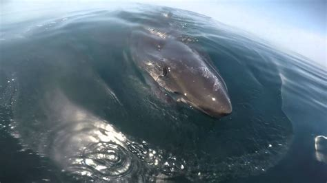 huge boat huge great white shark circles the boat and feeds on a