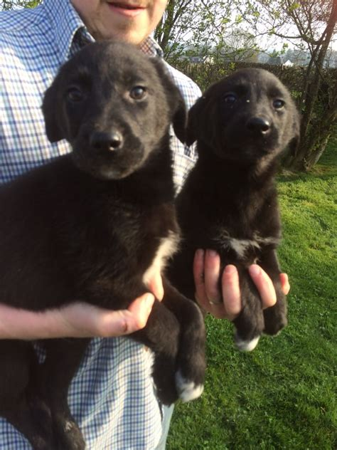 golden retriever x border collie puppies golden retriever x border collie puppies for sale llandeilo carmarthenshire