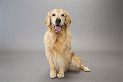 heritage golden retriever golden retriever breed information