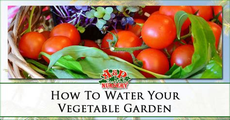 When Should I Water My Vegetable Garden How To Water Your Vegetable Garden A P Nursery