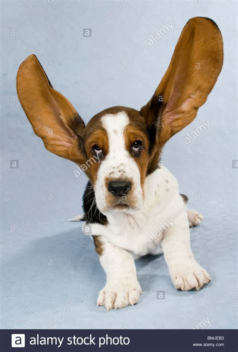 dogs with big ears basset puppy with big ears cut out stock photo royalty free image 29909911