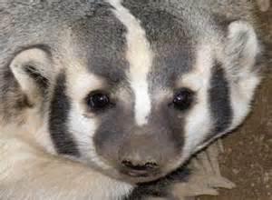 wisconsin state animal badger