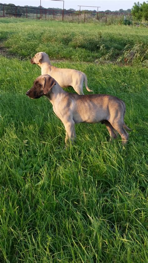 ladner black cur puppies for sale black cur dogs for sale in breeds picture