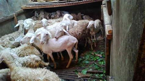 Bibit Kambing Untuk Penggemukan ternak domba untuk penggemukan daging kambing