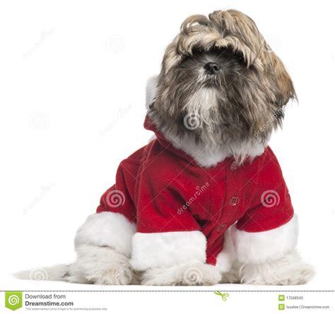 shih tzu 7 months shih tzu puppy in santa 4 months sitting in