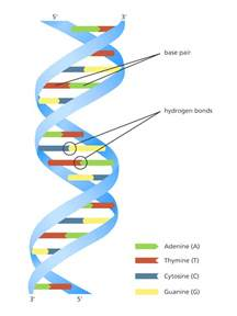 What Is A Template In Dna by Unravelling The Helix Stories Yourgenome Org