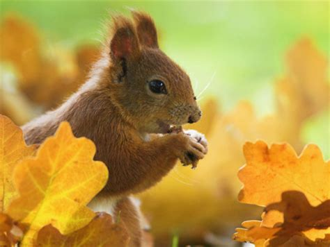 autumn squirrel squirrels animals background wallpapers on desktop nexus image 826142