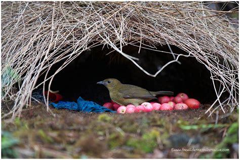 5 interesting facts about vogelkop bowerbirds hayden s