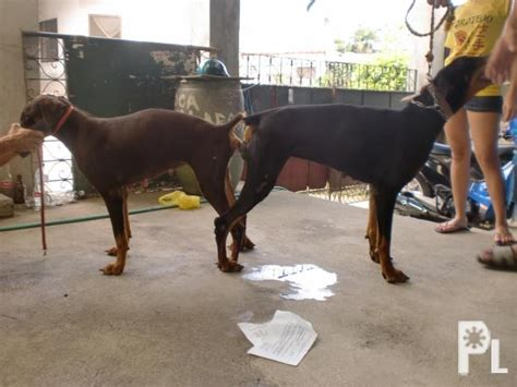 stud service doberman stud service w money back guarantee for sale in cainta calabarzon classified