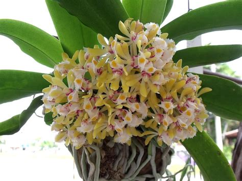 pembekal dress dari thailand collection of orchid photos page 6