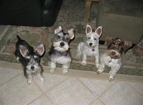 white schnauzer puppies for sale miniature schnauzer teacup schnauzers puppies for sale houston