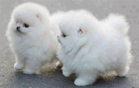 fluffy puppys fluffy puppies desicomments