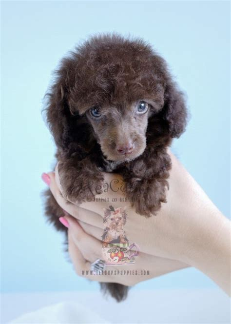 chocolate poodle puppies for sale teacup poodles and poodle puppies for sale by teacups