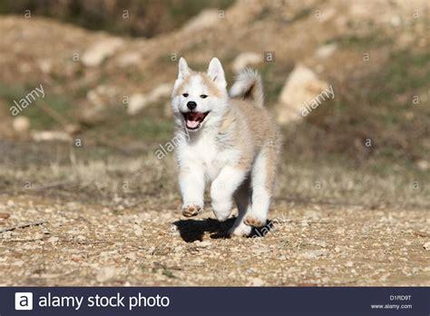 akita inu puppy akita inu japanese akita puppy fawn running stock