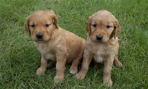 golden retriever mn breeders thunderstruck retrievers golden retriever puppies in