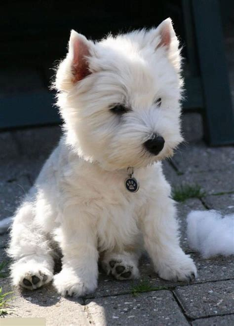 can you name 99 breeds westie puppies puppys and