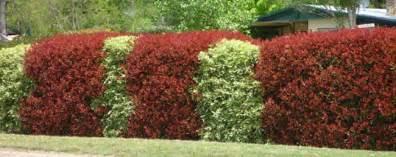 Home Designs South East Queensland haie de photinia red robin
