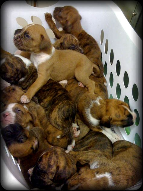 boxer mix puppies 3 4 boxer 1 4 apbt puppies virtuavet