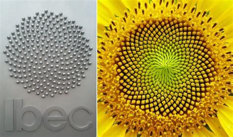 sunflower fibonacci sequence golden section sunflowers and fibonacci models of efficiency thatsmaths