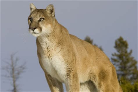 hunt alberta species cougar