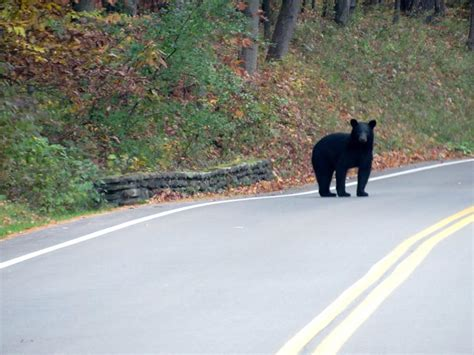 bears sighted   move  letchworth state park