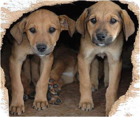 doberman golden retriever mix dobie pups free adopted puppy by 7 ripley tn doberman pinscher labrador