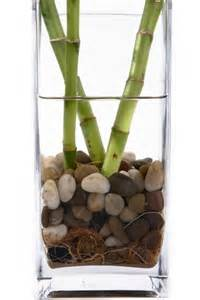 Small Desk Bamboo Plant Rotting Lucky Bamboo Plants Tips For Preventing Rot In