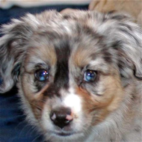 pomeranian and mini australian shepherd mini australian shepherd puppy for sale in boca raton south florida