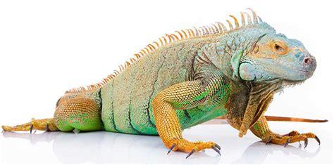 imagenes de iguanas rojas iguana informaci 243 n y caracter 237 sticas
