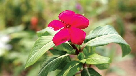 cural impatance of rosy periwinkle periwinkle friendly plant saturday magazine the guardian nigeria