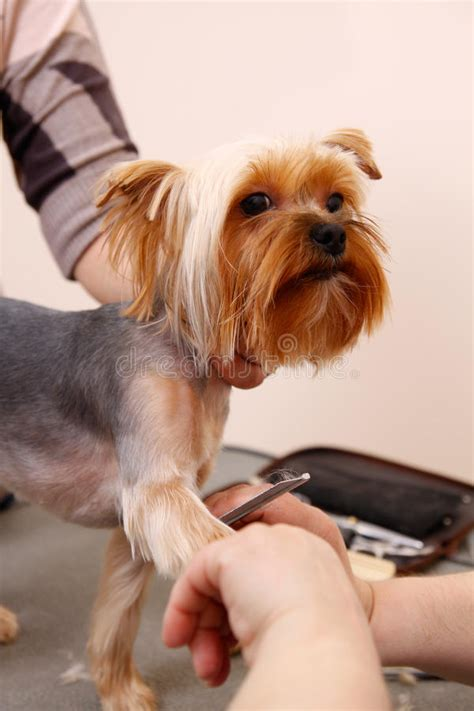 corte pelo yorkshire terrier corte de pelo de yorkshire terrier cortes de pelo